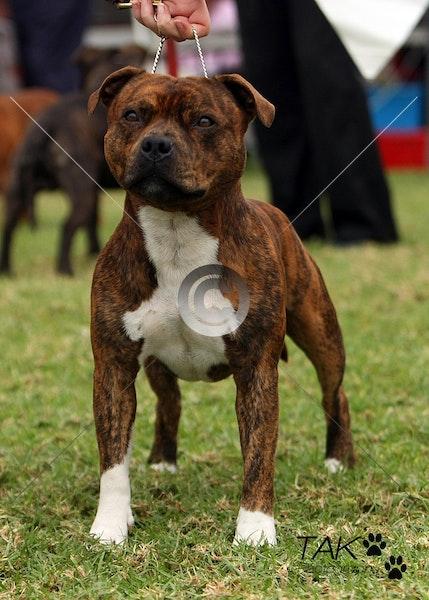 3 Aust Bred Dog 047