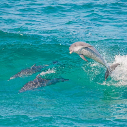 Dolphins_4433