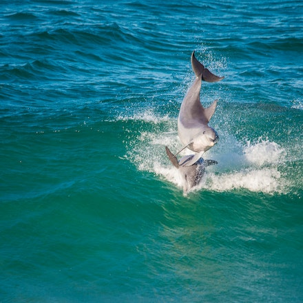 Dolphins_5908