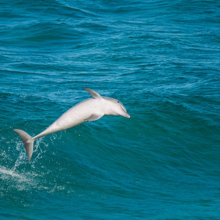Dolphins_4182