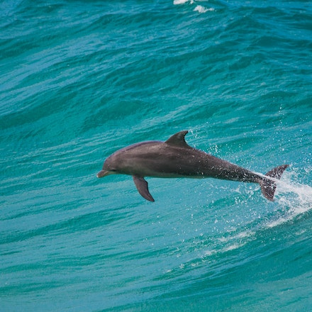 Dolphins_0232