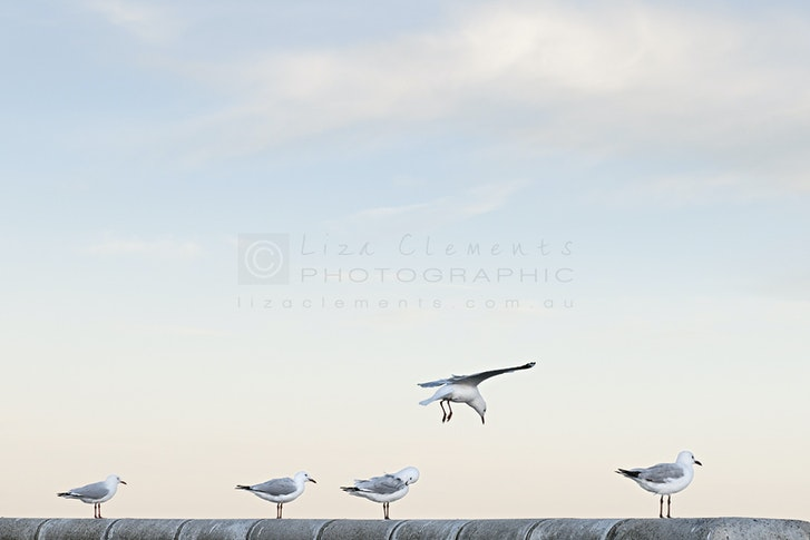 Seagulls at Half Moon© - Seagulls at Half Moon, 2013 Open Edition Silver VIPPY Award 2013 AIPP Victorian Professional Photography Awards