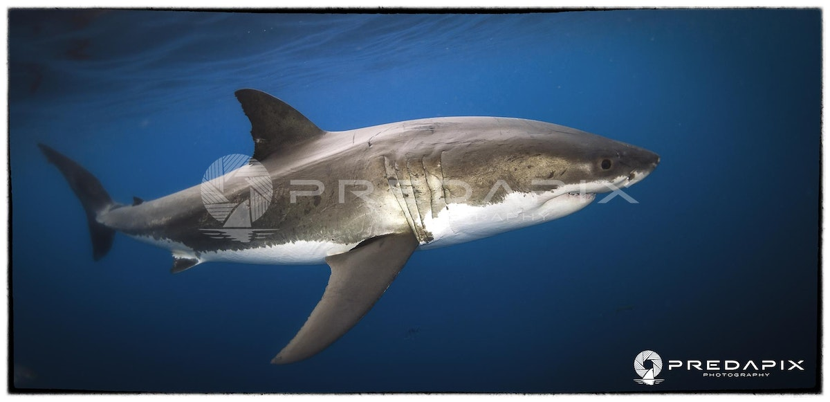 Moo the Great White Shark - 2012 sees 12 years in a row Moo has returned to the North Neptune Islands in South Australia