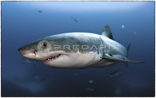 Whitey - This is Whitey the sub 5m Great White Shark.
