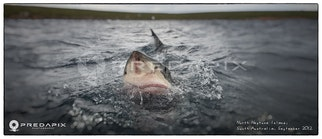 Jawsome II - Sub 5m male Great White breaks the water surface to check out the photographer