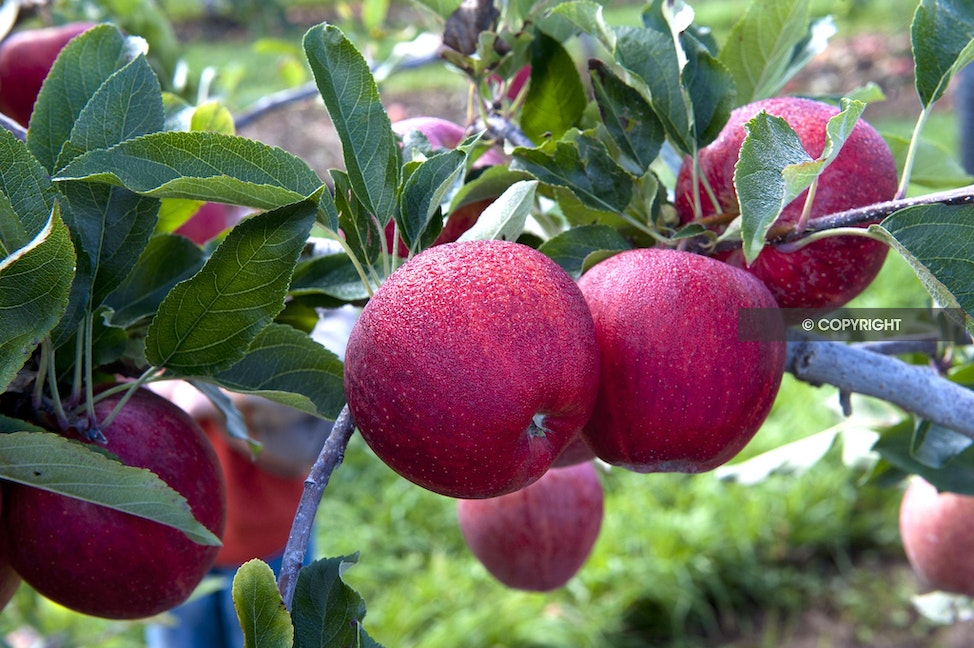 GALA APPLES_AAA0906 - early gala apples, apple branch, red apples, juicy apples, eating apples, beautiful red apples, apple orchard