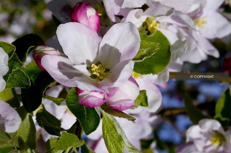 APPLE BLOSSOM AAA_4547 - Apple blossom full bloom, pink, green, white blossom