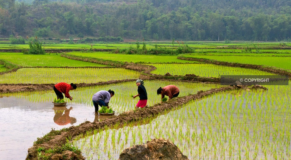 PLANTING RICE_DSC2581 - planting rice, grren, rice, ladies planting, green fields, Vietnam,