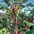 COFFEE - ROASTED TREE LADEN RED BERRIES