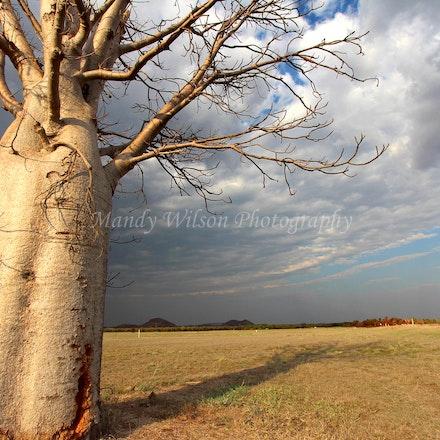 Boab Tree, Kimberley - WA