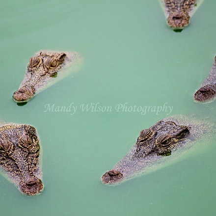 Young Salt Water Crocodiles
