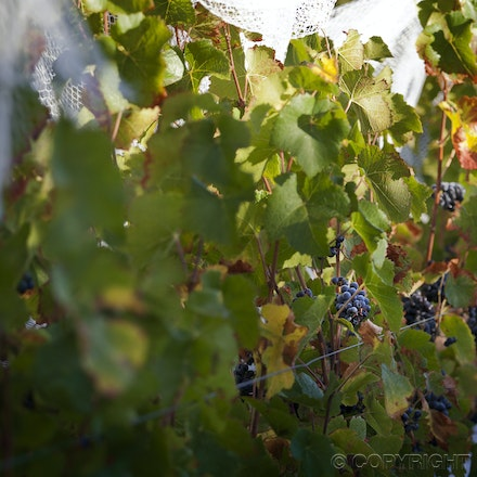 BE Somerled Pinot vines 4 _6472 - The story of Somerled Wines 2013 Pinot Noir Rose'.