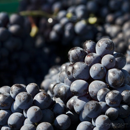 FG Somerled Pinot grapes 8 _6680 - The story of Somerled Wines 2013 Pinot Noir Rose'.