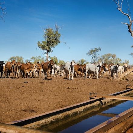 Cattle G3A40753371 12x8