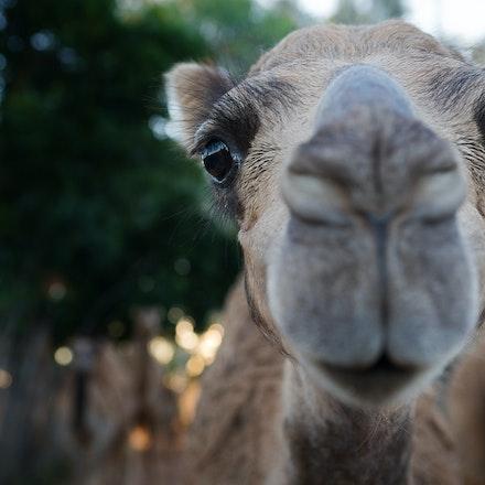 Camel 1 G3A22751690 12x8