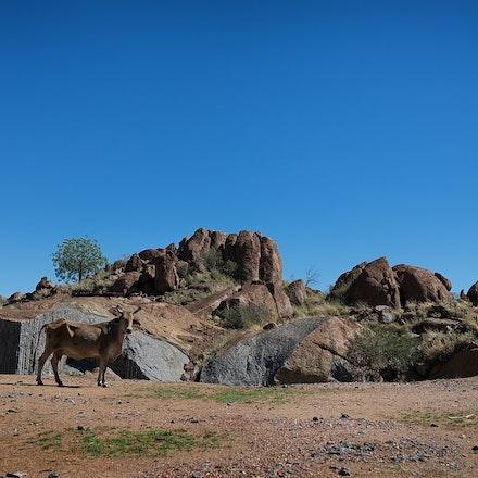 Isa Granite cow G3A64426200 12x8