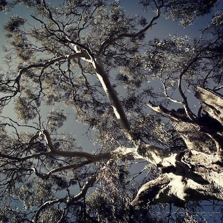 1 1 1 Tree vintage G _MG_7311