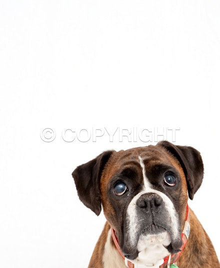 Charlie -6 - Boxer portrait Kensington, Melbourne
