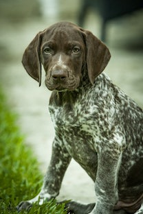 Otto the pointer