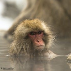 Snow monkeys at Jigokudani Yaen-koen, Japan - #japan #snowmonkeys #macaque #jigokudani #nagano #jackhochfeldphotography #inspiredbylifephotography #inspiredbylife