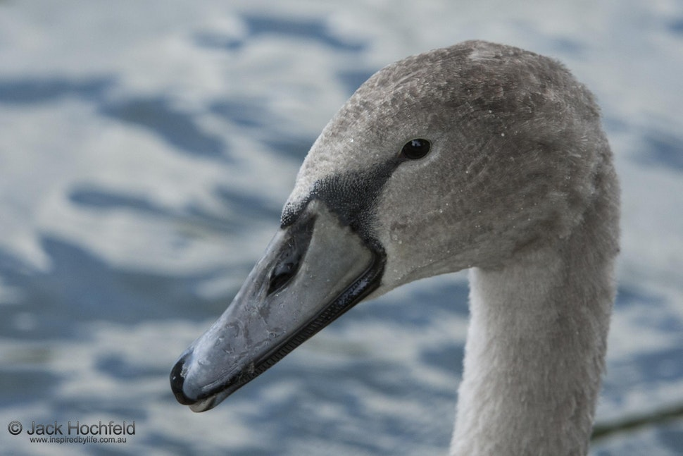 Swan on the Cam, Cambridge - A young inquisitive swan, The Cam, Cambridge.