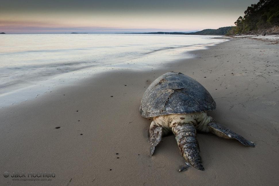 Dead turtle, Fraser Island - Dead turtle, Fraser Island, Queensland