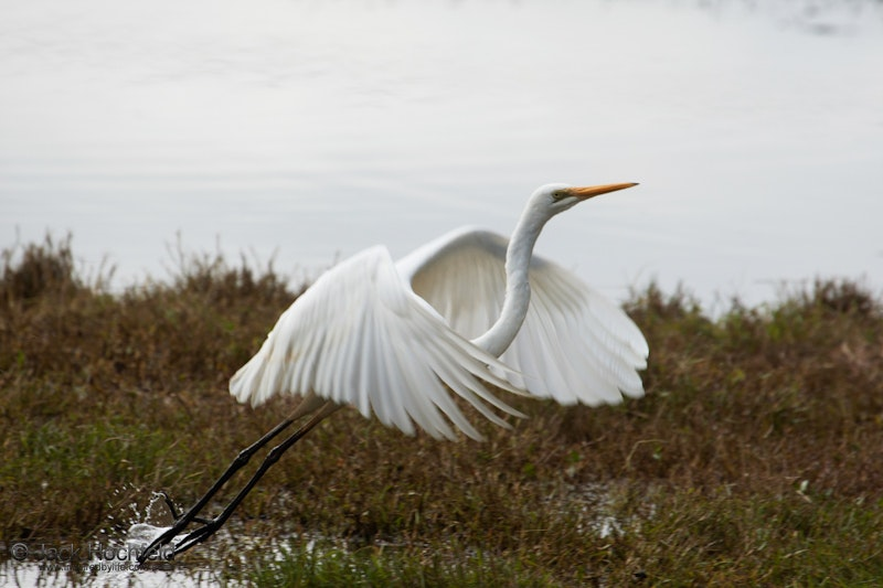 Great egret, Hunter Wetlands, Newcastle