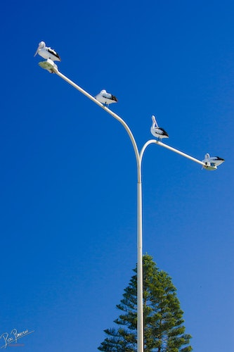 Four Pelicans - Four Pelicans sitting on a street light post on a beautiful summers day.