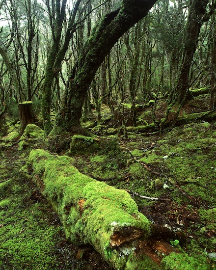 Enchanted Forest - Cradle Mountain, TAS. 2012.