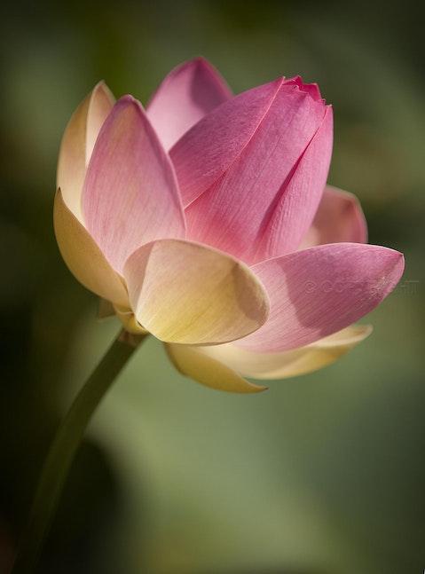 Lotus Flower 0105