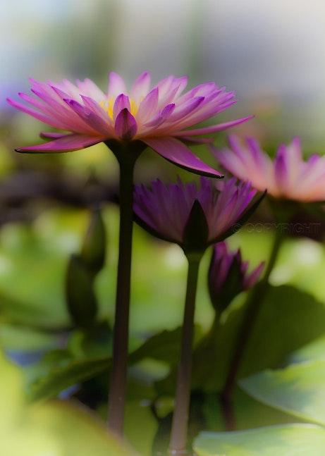 Lotus Flower 0117