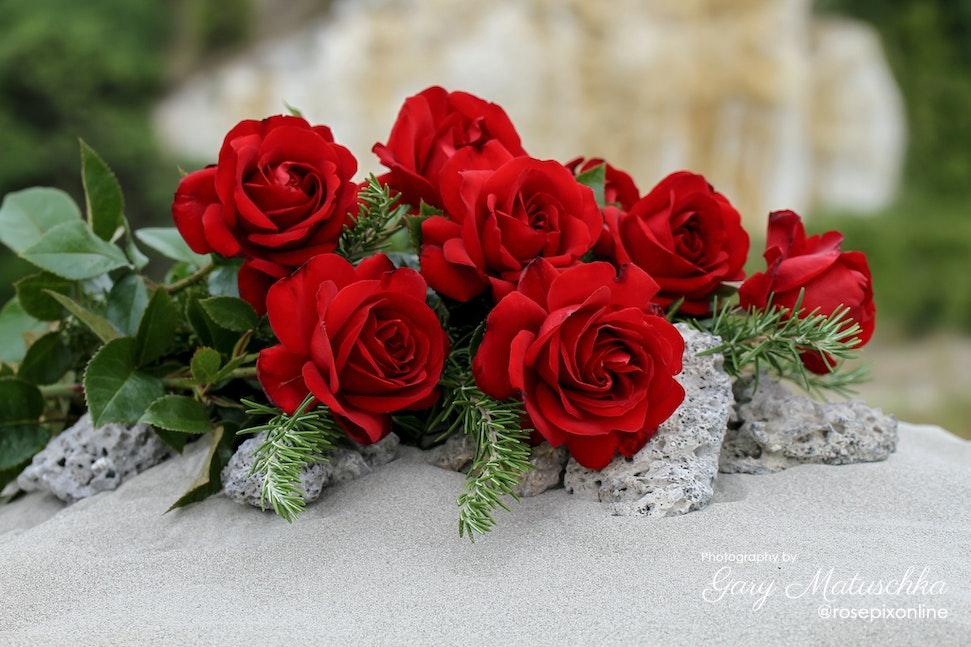 Gallipoli Centenary Rose - (Kortutu) This special rose named to commemorate the Gallipoli Centenary in 2015.