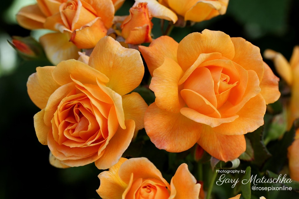 Slim_Dusty - This rose is named after Slim Dusty, Australian Icon and Country Music Legend.