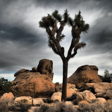 Joshua Tree National Park, California - The Mojave and Colorado Deserts converge in the park with a liberal sprinkling of giant yuccas called Joshua Trees...