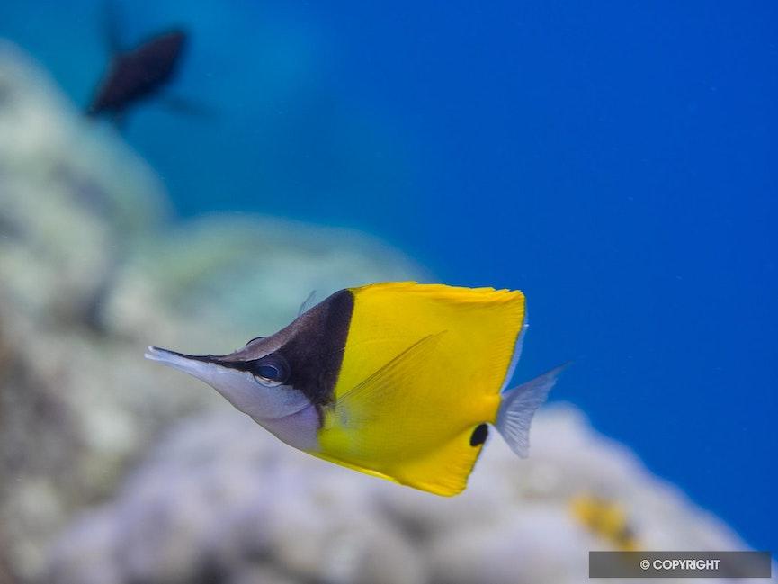 Long Nose Butterflyfish - Bold blocks of brilliant color hardly seem like camoflauge