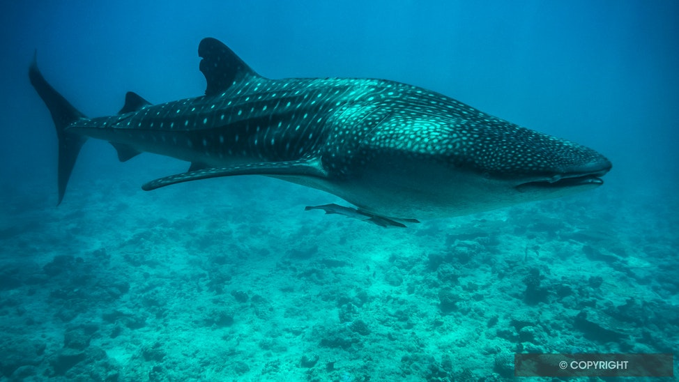 Maldives Whale Shark - A small (~7m) whale shark appeared just off the Sun Island Resort on Ari Atoll, Maldives