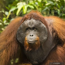 Indonesia, Borneo - Kumai, gateway city to Tanjung Puting National Park, on the island of Borneo, is in the Indonesian province of Central Kalimantan.