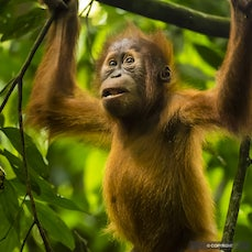Indonesia, Sumatra - Northern Sumatra is seeking to balance economic forces of tourism, palm oil, and rubber, with national parks and charismatic wildlife,...