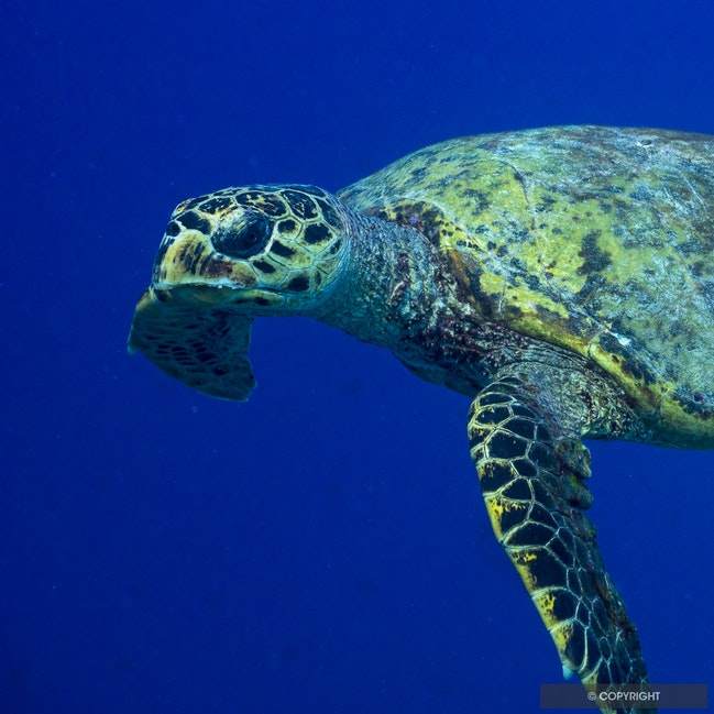 Sea Turtle Portrait - Hawksbill turtle cruising along the drop off at Adhu Island