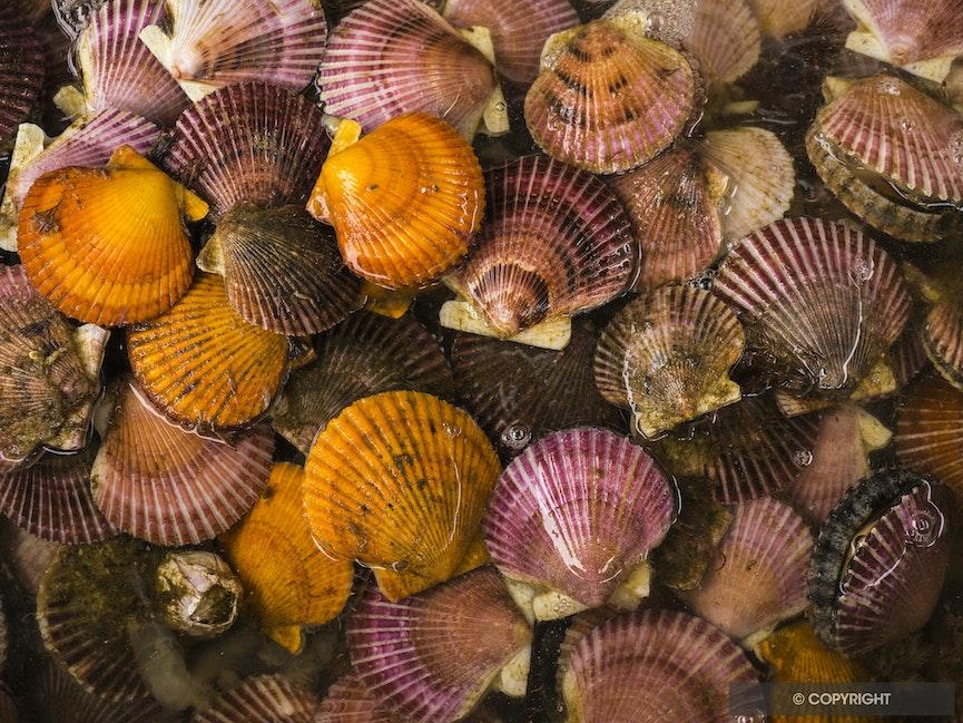 Chilean Scallops - Aquacultured scallops in a beachside restaurant in Bahia Inglesa