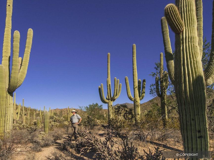 HIker and giant saguaro cactus - Giant saguaro cactus tower above
