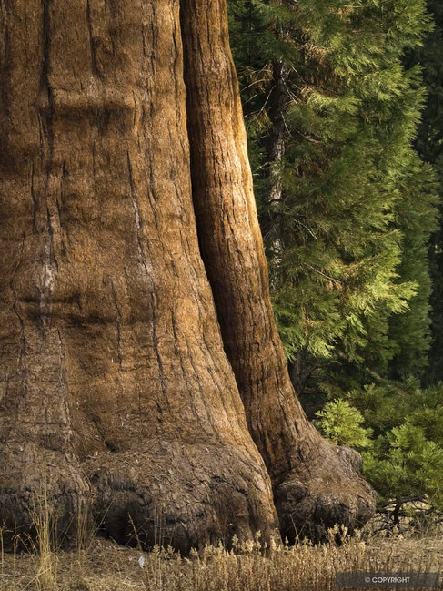 Elephant Foot Tree - Butress roots of giant sequoias are reminicent of elephant feet