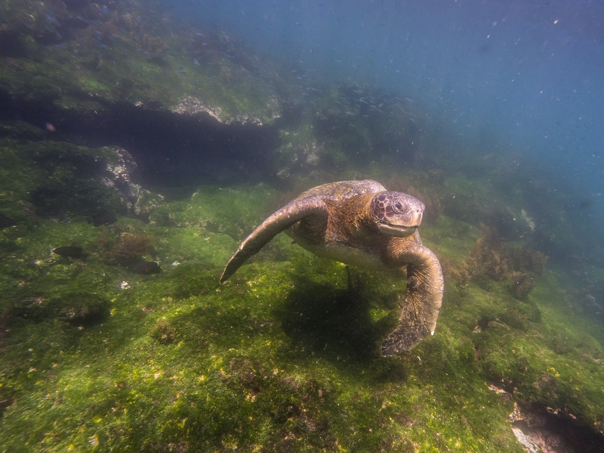 Green Sea Turtle Lift Off - Cruising over lush green algal turf, this Pacific green turtle should be well fed