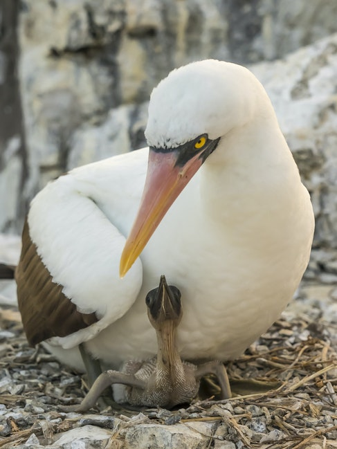Nazca Booby & Chick - Adult booby caring for chick on nest