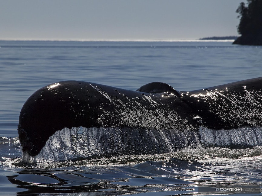Farewell For Now - Humpback whale tail lifted to dive in Squally Channel, British Columbia, Canada