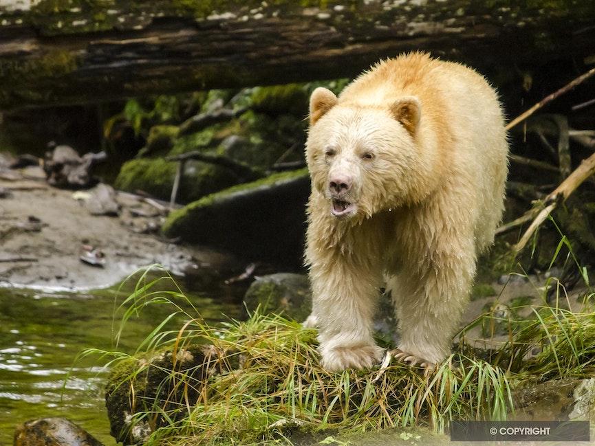 Spirit Bear Speaks - Spirit bear walking in the Great Bear Rainforest, British Columbia, Canada