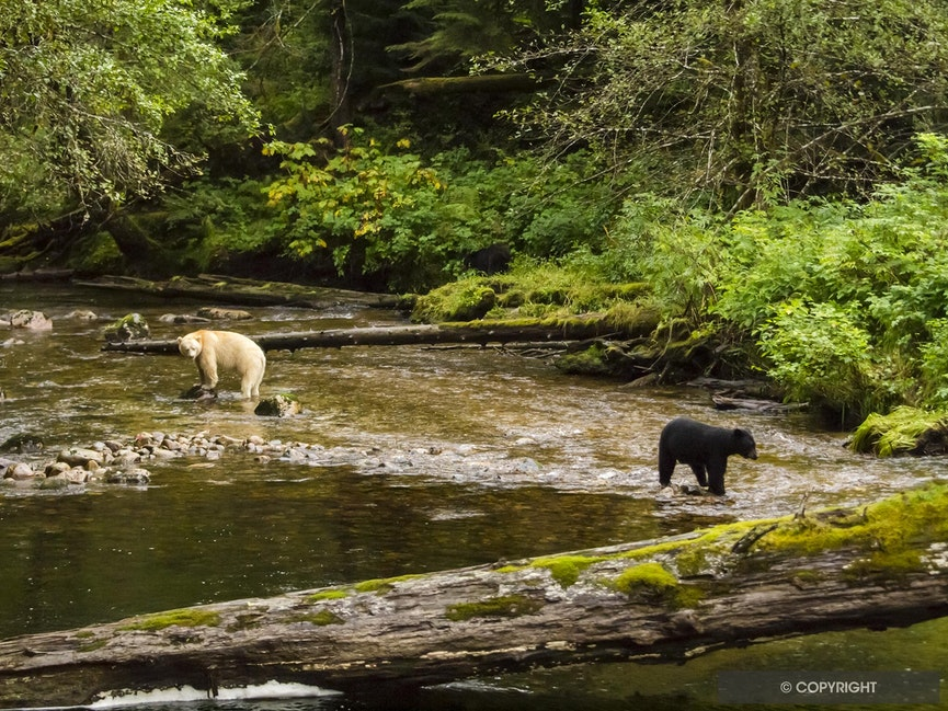 Who Dat? - Spirit bear and balck bear in the Great Bear Rainforest, British Columbia, Canada