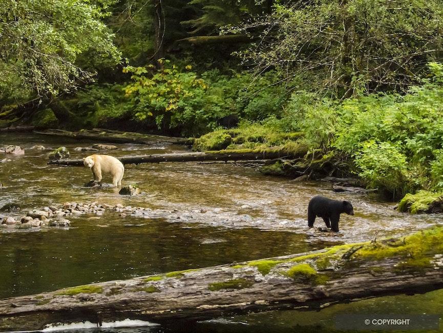 Who Dat? - Spirit bear and balck bear in the Great Bear Rainforest, British Columbia, Canada