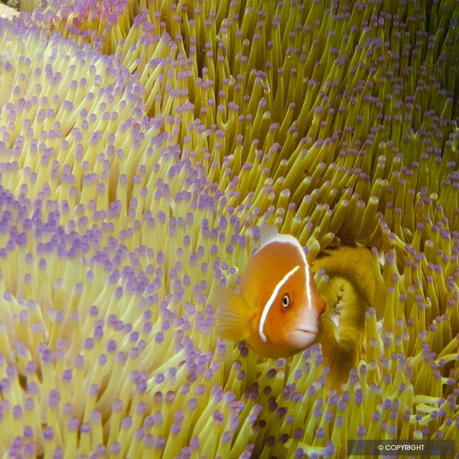 Nemo & Friend - Anemone fish and sea anemone, Lizard Island, Great Barrier Reef, QLD, Australia