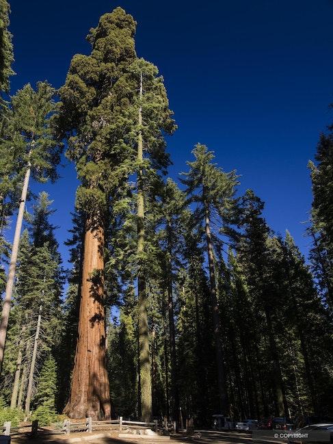Forest Giants - Giant sequoia tree, Mariposa Grove,Yosemite National Park, California